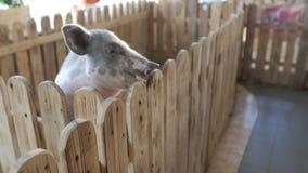Una pequeña muchacha de dos años alimenta un pequeño cochinillo en un parque zoológico o una granja del contacto metrajes