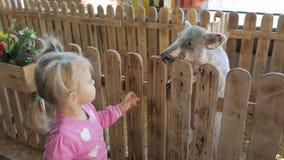 Una pequeña muchacha de dos años alimenta un pequeño cochinillo en un parque zoológico o una granja del contacto almacen de metraje de vídeo