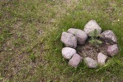 Una pequeña picea crece en el suelo rodeado por las piedras en un CCB Imagenes de archivo