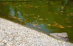 Una pequeña piscina con los pescados amarillos en la superficie con la piedra de la roca en el lado con color de agua verde - fot imagen de archivo libre de regalías