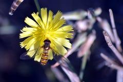 Una pequeña planta con su flor amarilla con la abeja de Hunny Foto de archivo