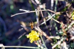 Una pequeña planta con su flor amarilla con la abeja de Hunny Fotografía de archivo libre de regalías