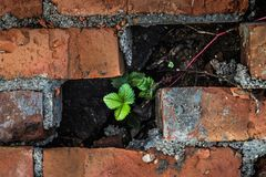 Una pequeña planta hace su manera a través de los ladrillos Fotografía de archivo