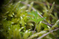 Una pequeña planta que crece entre el musgo Imágenes de archivo libres de regalías