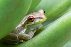 Una pequeña rana arbórea que se sienta en una hoja suculenta fotos de archivo