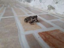 Una pequeña rana en un suelo de baldosas fotos de archivo