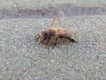 Una pequeña reclinación de la abeja Imágenes de archivo libres de regalías