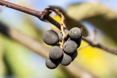 Una pequeña uva en su negro aterciopelado agradable Fotos de archivo libres de regalías