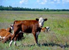 Una pequeña vaca y miradas fotografía de archivo libre de regalías