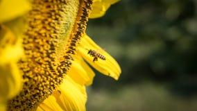 Una pequeños abeja y girasol Fotografía de archivo