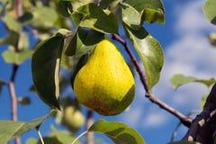 Una pera amarilla madura cuelga en una rama de árbol imagenes de archivo