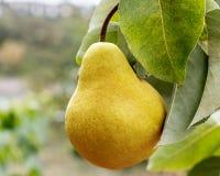 Una pera amarilla madura cuelga en un árbol imagen de archivo libre de regalías
