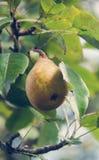 Una pera che cresce su un albero in un giardino Immagine Stock