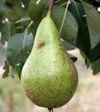Una pera en su árbol. Fotografía de archivo libre de regalías