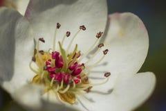 Una pera florece la visión macra El venir de la primavera fotografía de archivo