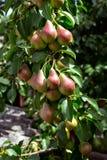 Una pera verde su un albero fotografia stock