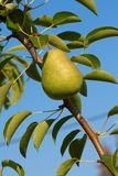 Una pera verde sul cielo blu dell'albero Immagine Stock