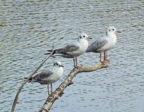 Una perca para tres pequeñas gaviotas Foto de archivo