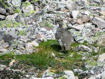 Una pernice bianca della roccia che camaflouging fra le rocce in cima a Gros Morne fotografie stock libere da diritti