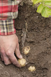 Una persona che raccoglie le prime patate novelle (rapide) Immagine Stock Libera da Diritti