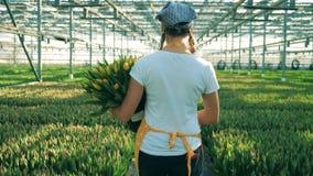 Una persona con el cubo por completo de paseos de los tulipanes cerca de filas de flores en un invernadero metrajes