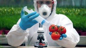 Una persona inietta i pomodori con una grande siringa ad una serra archivi video