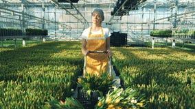 Una persona mueve los manojos de tulipanes amarillos, usando un carro metrajes