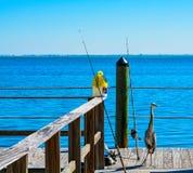 Una pesca blu della gru dell'airone su Tampa Bay Florida fotografia stock