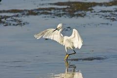 Una pesca del Egret nevado para una comida Fotos de archivo