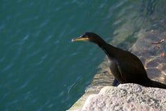 Una pesca del pájaro de mar del cormorán en los pasos del puerto de Padstow Foto de archivo libre de regalías