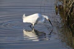 Una pesca dell'egretta di Snowy per il pranzo Fotografia Stock Libera da Diritti