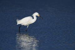 Una pesca dell'egretta di Snowy per il pranzo Fotografia Stock
