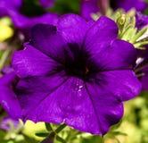 Una petunia púrpura Foto de archivo libre de regalías