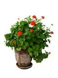 Una pianta del geranio Fotografie Stock Libere da Diritti