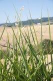 Una pianta del grano in Toscana, Italia fotografia stock