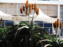 Una pianta del protea immagini stock libere da diritti