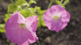 Una pianta della petunia nel giardino video d archivio