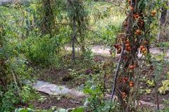 Una pianta di pomodori immagine stock libera da diritti