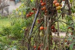 Una pianta di pomodori fotografia stock libera da diritti
