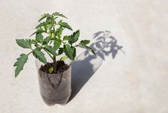Una pianta di pomodori in un piccolo vaso Immagini Stock