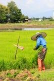 Una pianta di riso di lavoro dell'agricoltore in azienda agricola della Tailandia Fotografia Stock Libera da Diritti