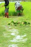 Una pianta di riso di lavoro dell'agricoltore in azienda agricola della Tailandia Fotografie Stock Libere da Diritti