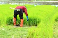 Una pianta di riso di lavoro dell'agricoltore in azienda agricola della Tailandia Immagine Stock Libera da Diritti