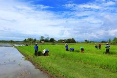 Una pianta di riso di lavoro dell'agricoltore in azienda agricola della Tailandia Fotografie Stock