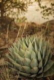 Una pianta di secolo che aspetta alla fioritura Fotografie Stock Libere da Diritti