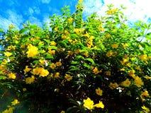 Una pianta gialla molto bella del fiore Immagini Stock Libere da Diritti