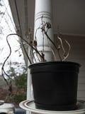 Una pianta morta del basilico in un vaso di plastica che si siede fuori fotografia stock