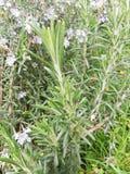 Una pianta ottimistica e sana dei rosmarini fotografie stock libere da diritti