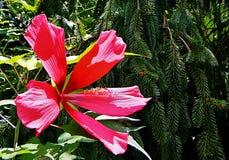 Una pianta rosa gigante Fotografia Stock