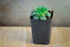 Una pianta succulente verde in contenitore conservato in vaso Immagini Stock Libere da Diritti